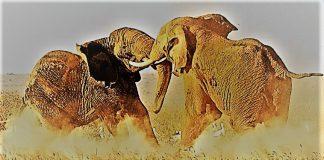 Όταν οι ελέφαντες παλεύουν το γρασίδι υποφέρει, Παναγιώτης Ήφαιστος