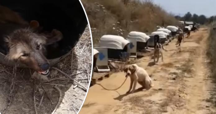 Αλυσοδεμένα σκυλιά στον καύσωνα - Φιλόζωοι καταγγέλλουν κακοποίηση ζώων σε χώρο του Δήμου Σπάρτης (vid)
